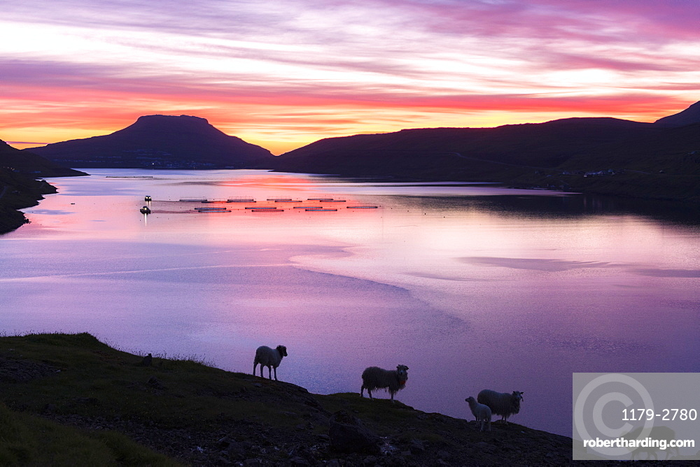 Sheep on hills above the ocean at sunrise, Eidi, Nordskali fjord, Eysturoy Island, Faroe Islands, Denmark, Europe