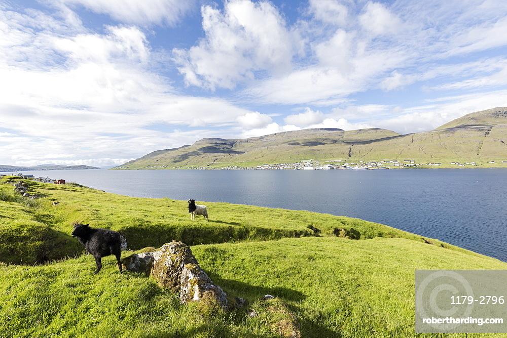 Sheep on green meadows, Skipanes, Eysturoy Island, Faroe Islands, Denmark, Europe