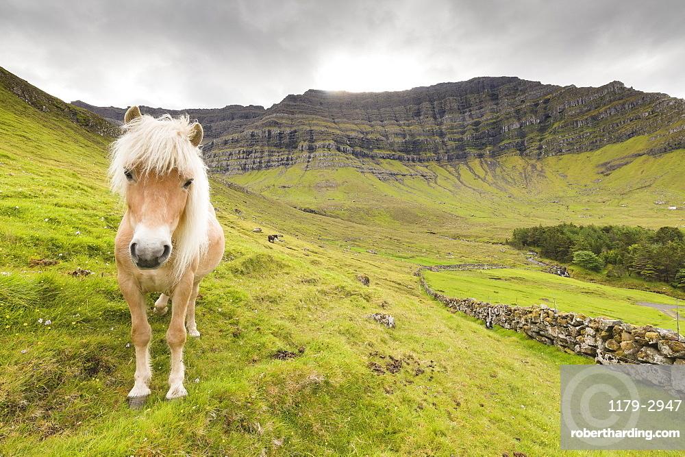 Horse in green meadows, Kunoy Island, Nordoyar, Faroe Islands, Denmark, Europe