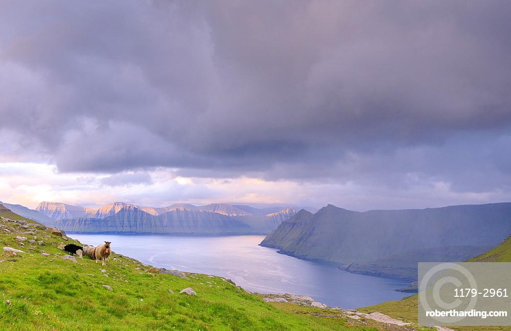 Sheep, Funningur fjord, Eysturoy Island, Faroe Islands, Denmark