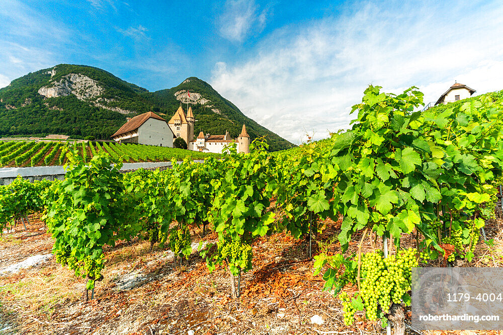 Grapes in the vineyards surrounding Aigle Castle, canton of Vaud, Switzerland