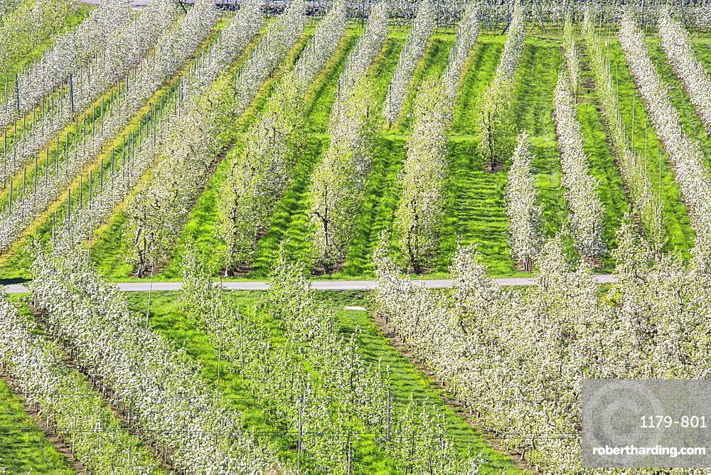 Flowering apple orchards, Villa of Tirano, Province of Sondrio, Valtellina, Lombardy, Italy, Europe