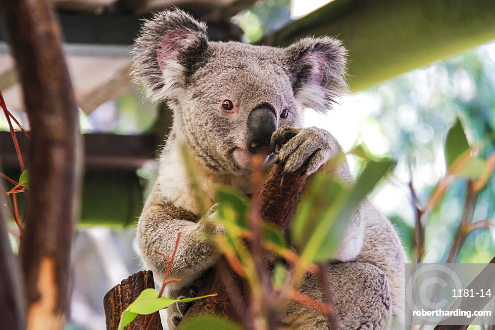 Beautiful and awake koala, Queensland, Australia, Pacific