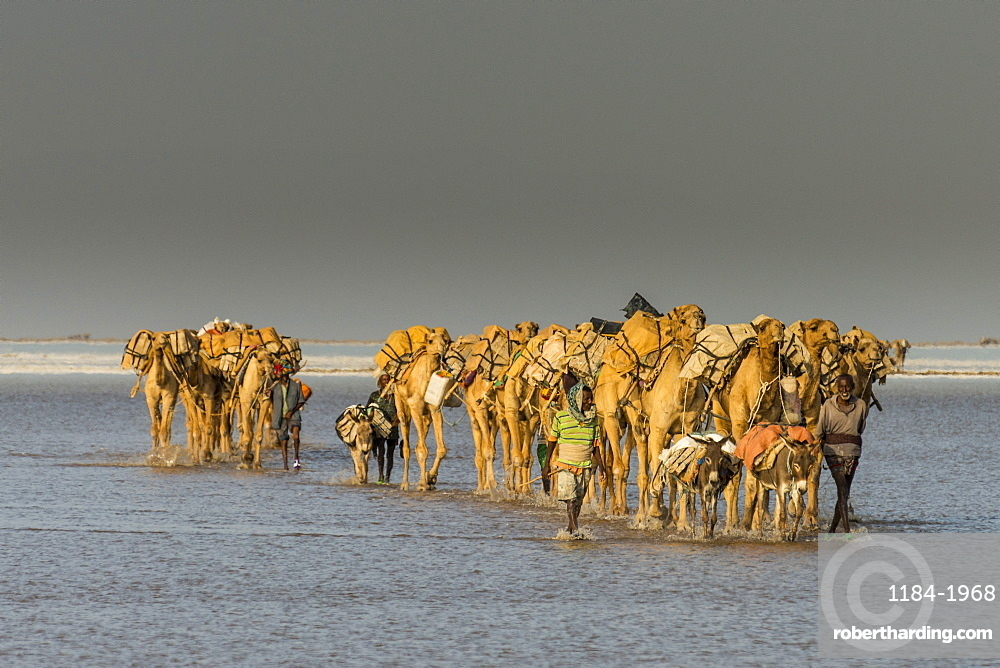 Camel caravan walking in the heat through a salt lake, Danakil depression, Ethiopia, Africa