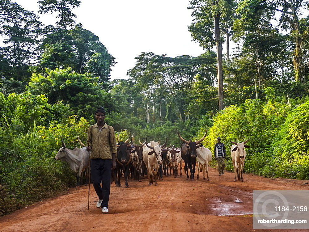 Local cow herd deep in the jungle, Cameroon