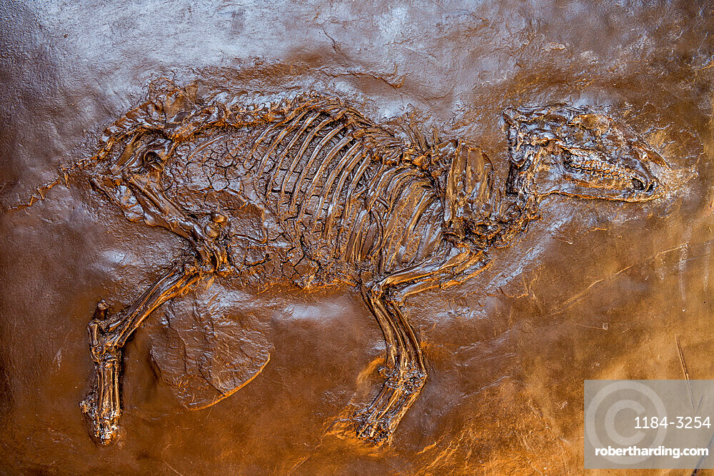 Well preserved fossils in the Unesco world heritage sight Messel pit, Hesse, Germany