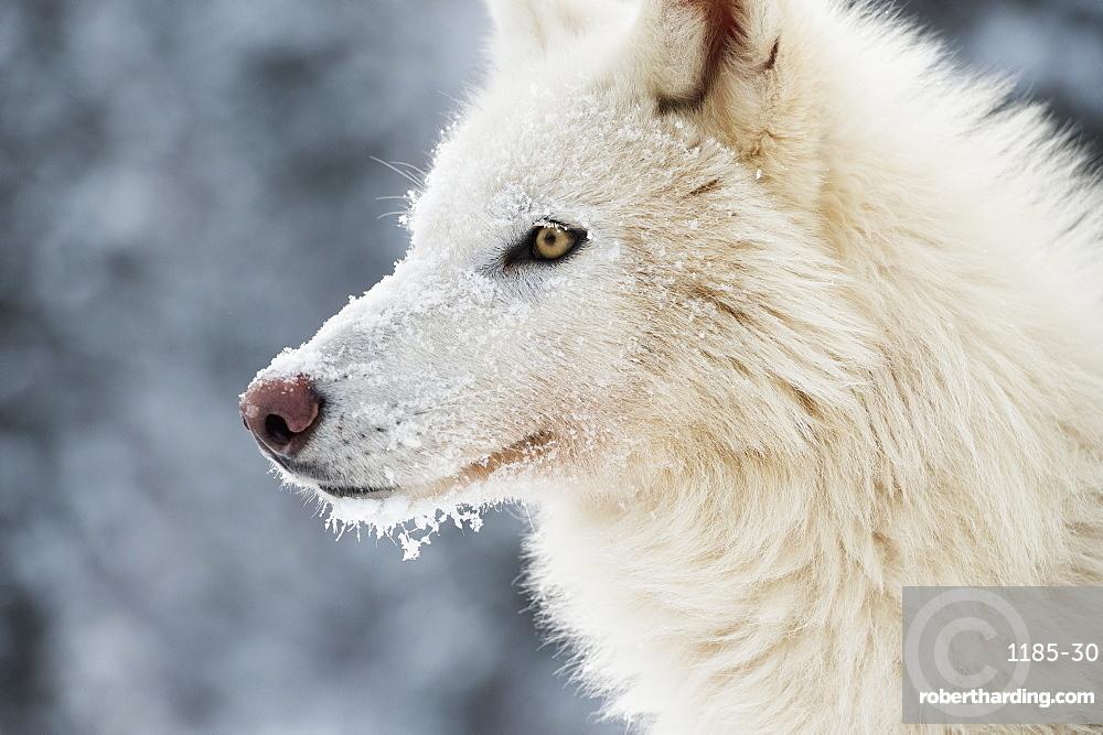 Arctic wolf (Canis lupus arctos), Montana, United States of America, North America