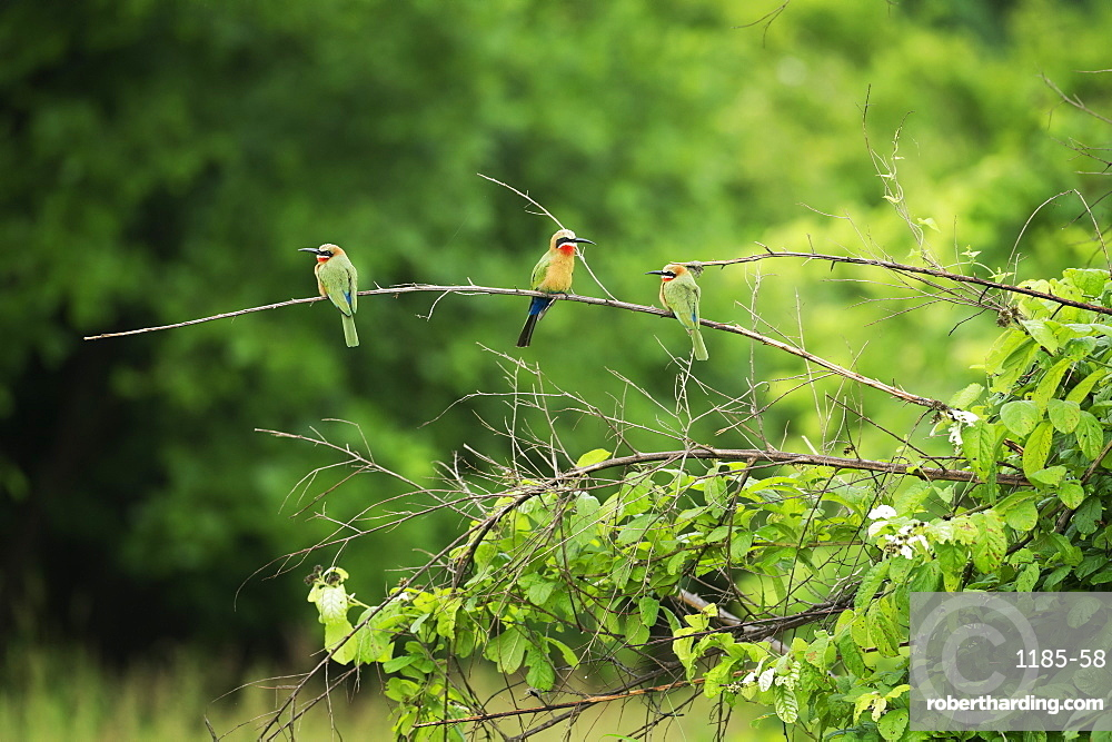 White-fronted bee-eater (Merops bullockoides), South Luangwa National Park, Zambia, Africa