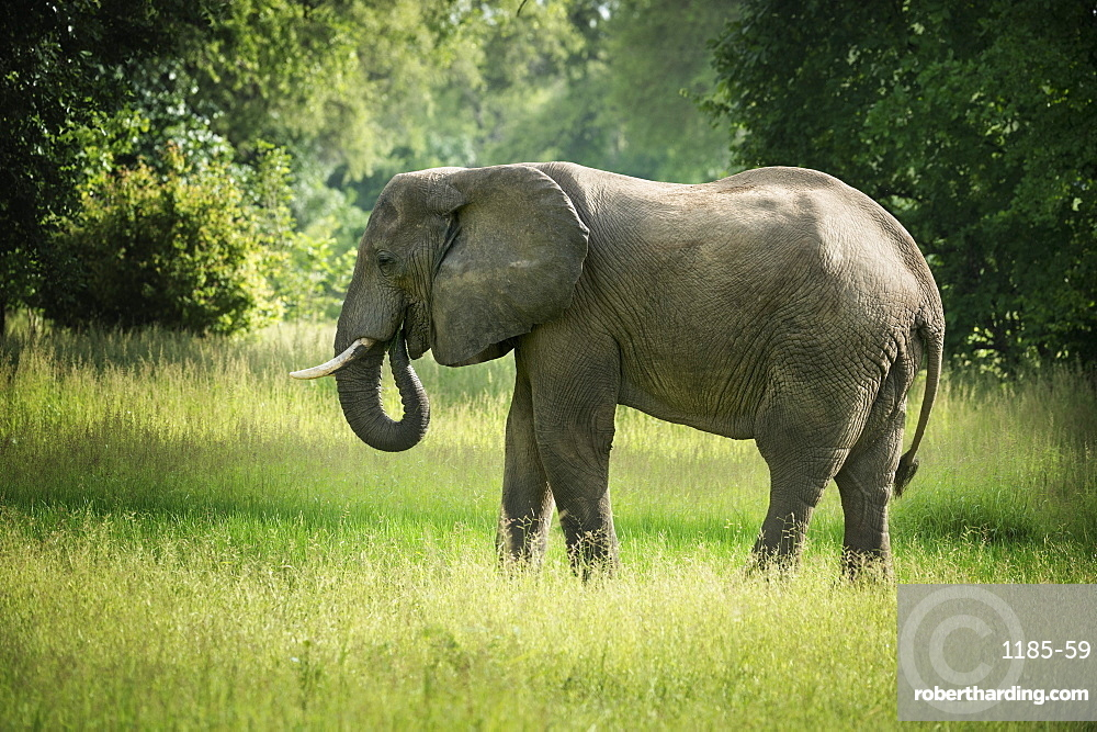 African elephant (Loxodonta), South Luangwa National Park, Zambia, Africa