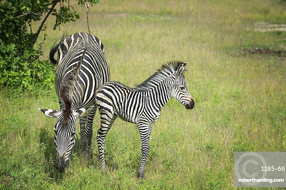 Crawshays zebra mother and foal (Equus quagga crawshayi), South Luangwa National Park, Zambia, Africa