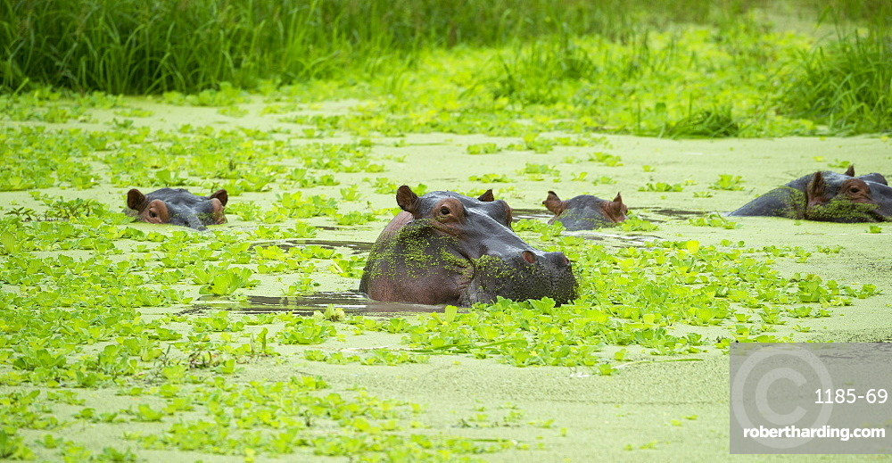 Hippopotamus (Hippos) wallowing in Hippo pool, South Luangwa National Park, Zambia, Africa