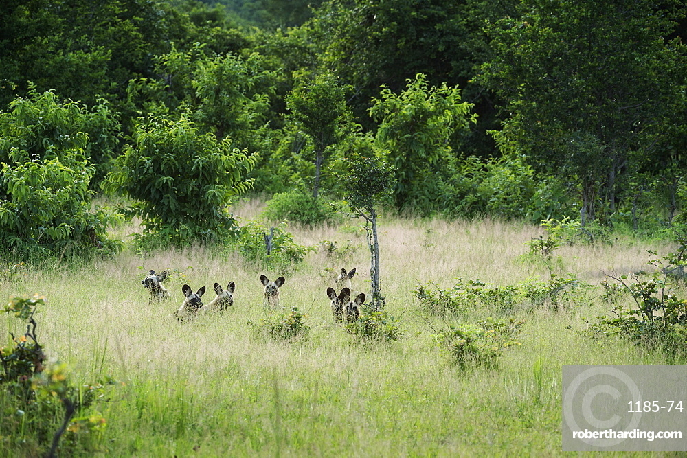 Pack of African wild dogs (painted dog) (Cape hunting dog) (Lycaon pictus), South Luangwa, Zambia, Africa