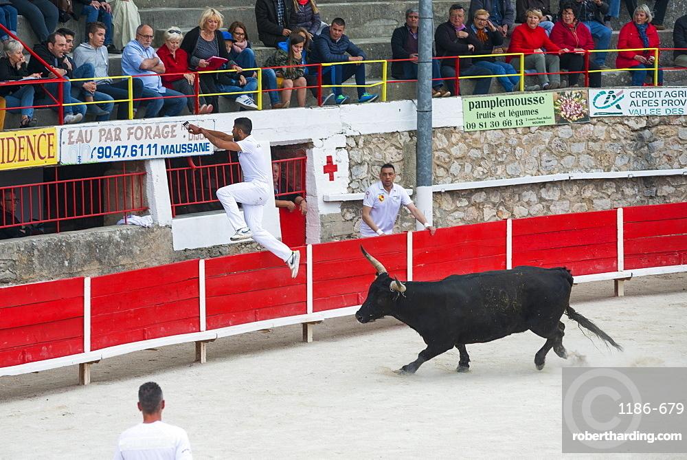 Camargue Bull running. Camargue, Rhone, France