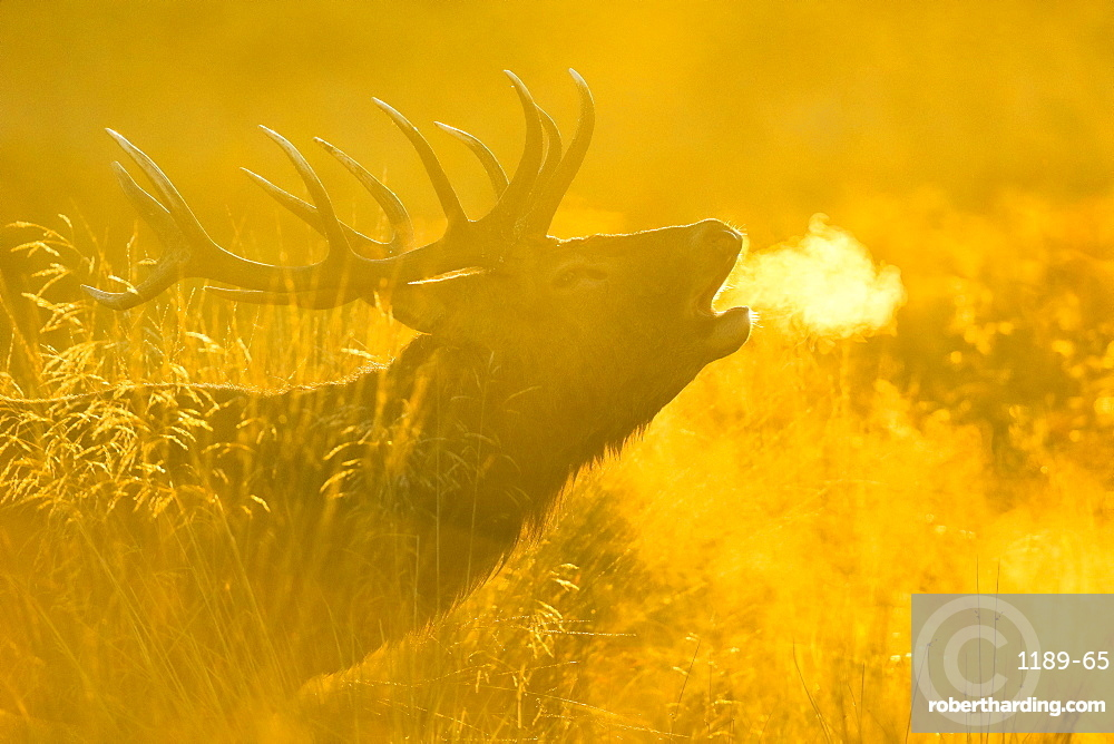 Red deer stag at sunrise, Richmond Park, Greater London, England, United Kingdom, Europe
