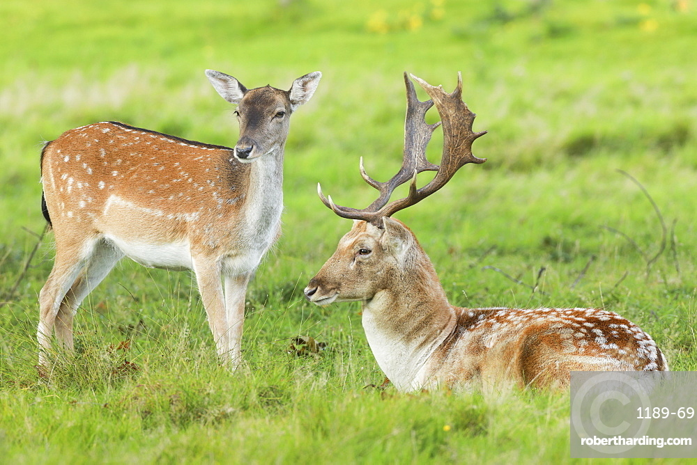 Fallow deer, Dama dama, in Richmond Park, England