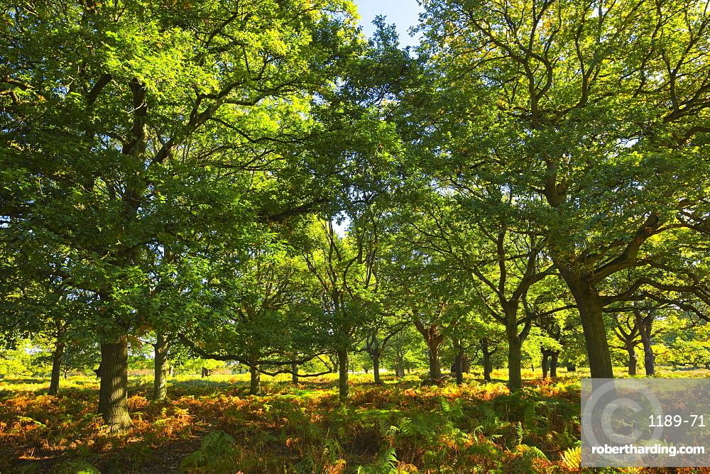 Oak trees, Richmod Park, England