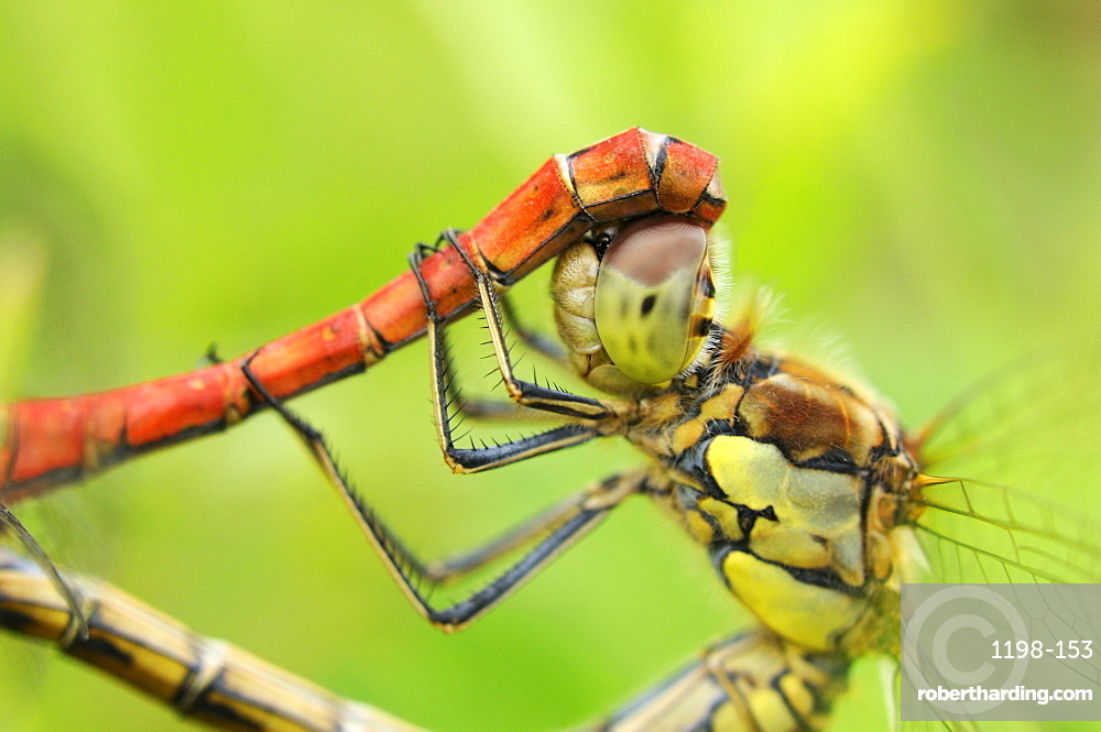 Common darter dragonfly (sympetrum striolatum) close-up of pair mating, oxfordshire, uk