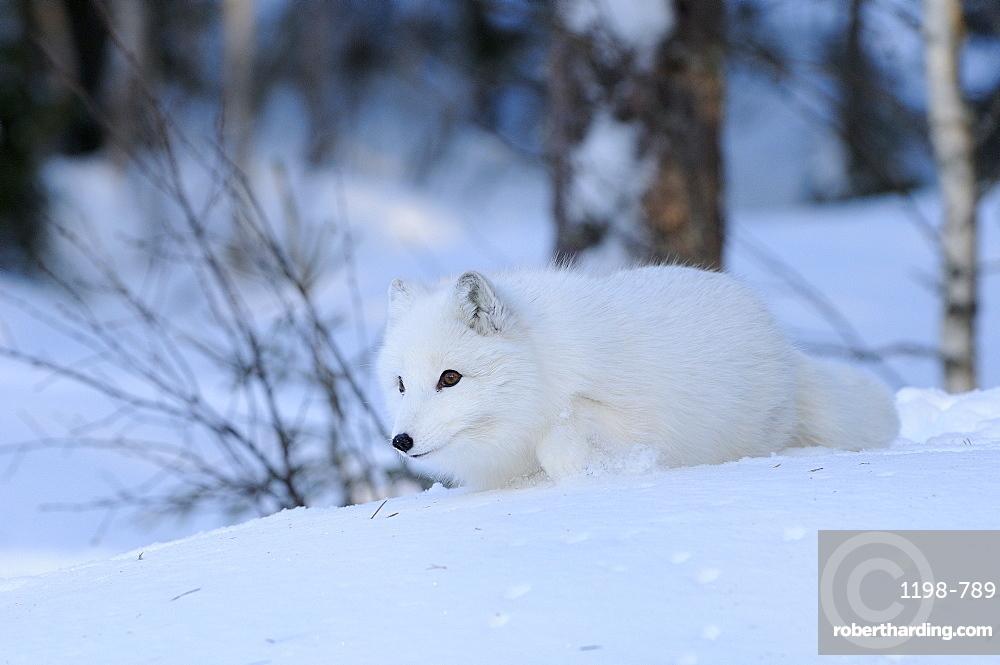 Arctic fox (alopex lagopus) walking in snow, norway captive