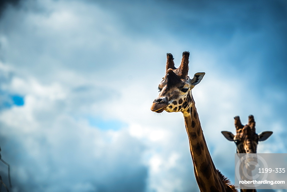 Girraffe (Giraffa camelopardalis) in captivity, United Kingdom, Europe