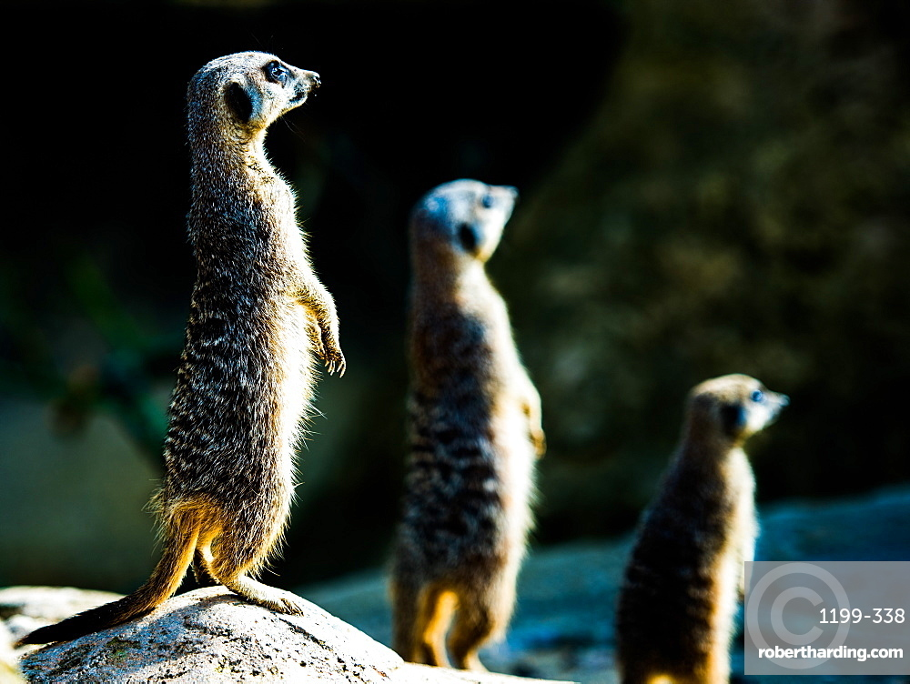 Meerkats (Suricata suricatta) in captivity, United Kingdom, Europe