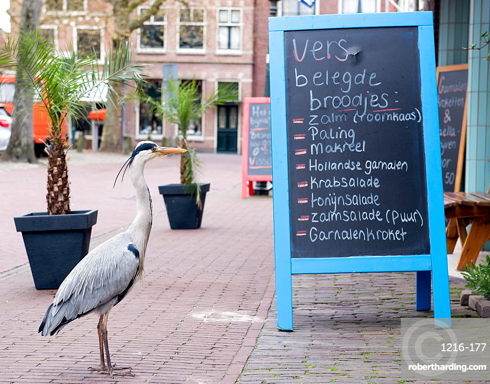Grey heron reading Fishmongers Menu, The Netherlands, Europe