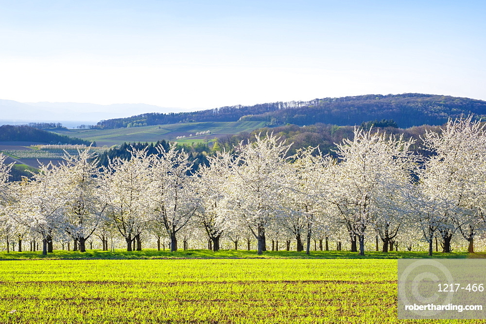 Blossoming cherry trees in the Eggenertal Valley in early spring, Schliengen, Baden-Wurttemberg, Germany, Europe