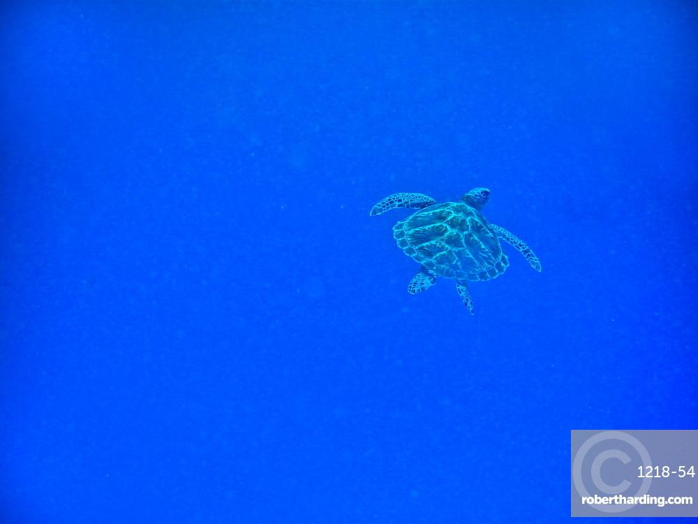 Sea turtle swimming, Zanzibar Island, Tanzania, East Africa, Africa