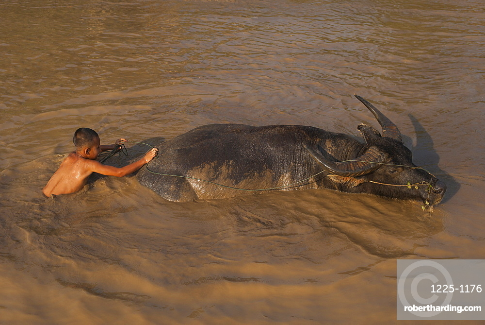 A boy takes his buffalo into Inle Lake for a wash, Shan State, Myanmar (Burma), Asia