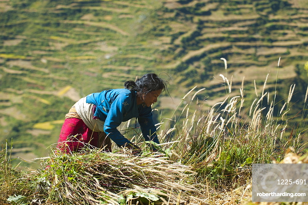 A woman in the Juphal valley harvests grass for the animals, Nepal, Asia