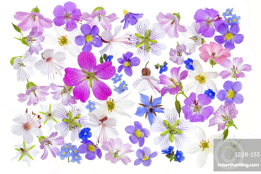 Spring flowers, geraniums, borrage, herb, blue, white, pink arranged on white background