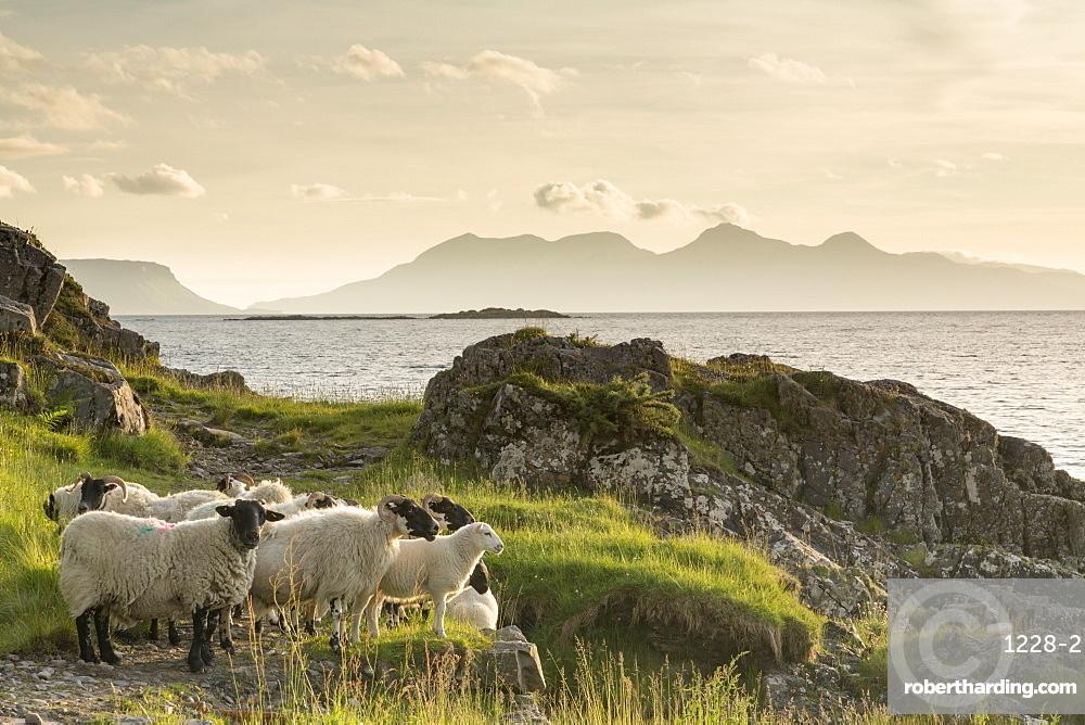 Sheep on the beach at Camusdarach, Arisaig, Highlands, Scotland, United Kingdom, Europe