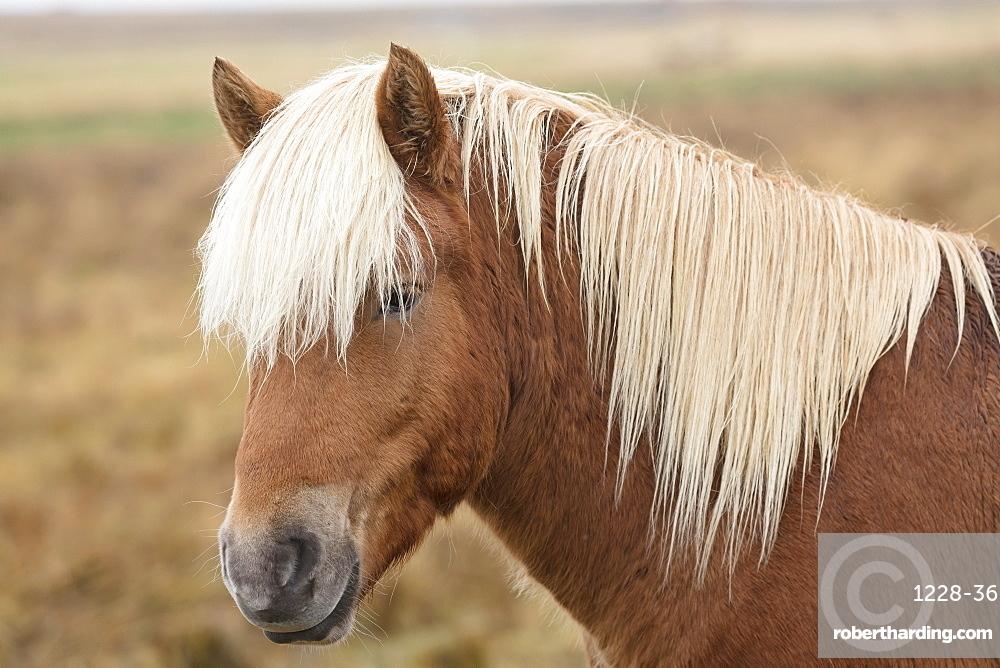 Icelandic horse, Snaefellsnes peninsula, Iceland, Polar Regions