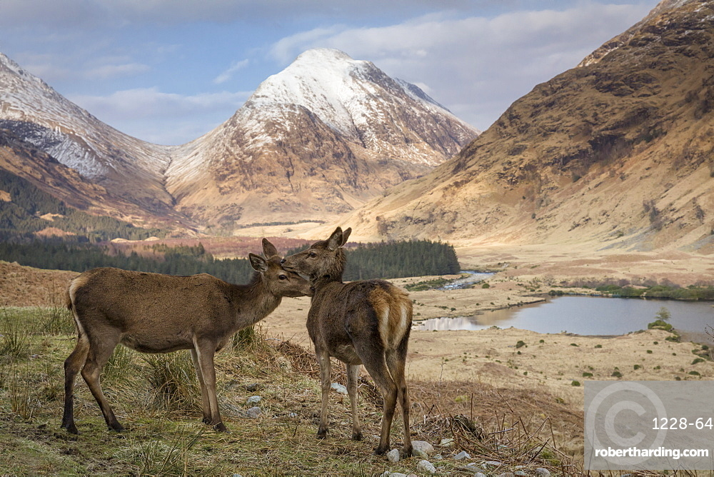Red deer in Glen Etive, Glencoe, Highlands, Scotland, United Kingdom, Europe