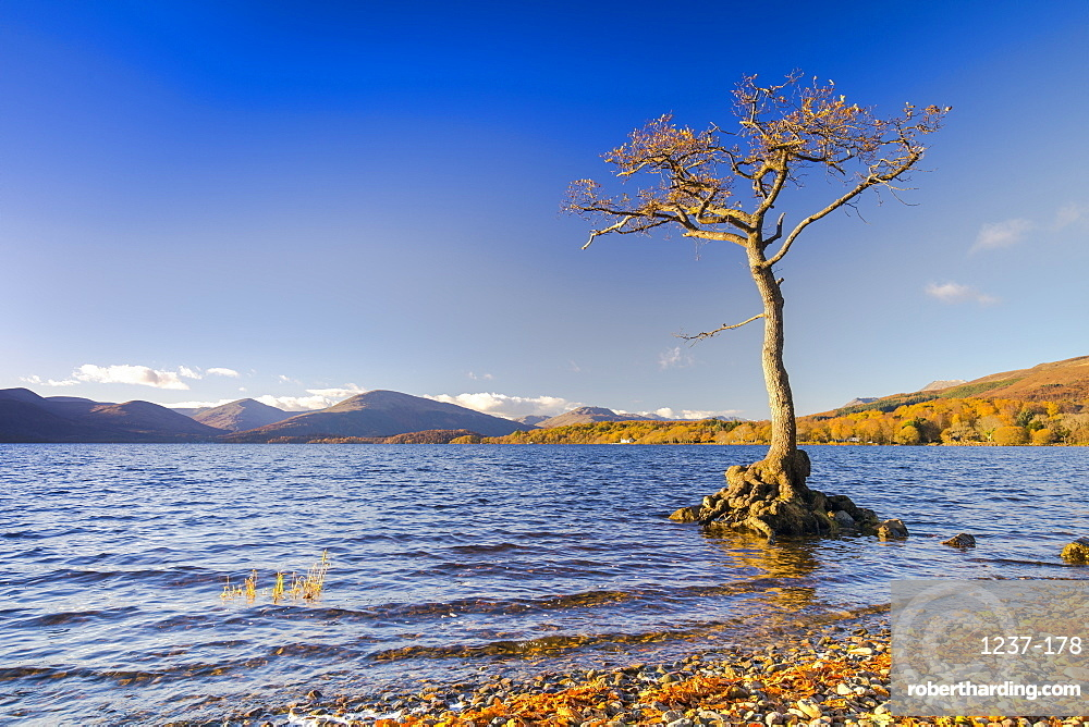 Lone tree, Milarrochy Bay, Loch Lomond, Scotland, United Kingdom, Europe