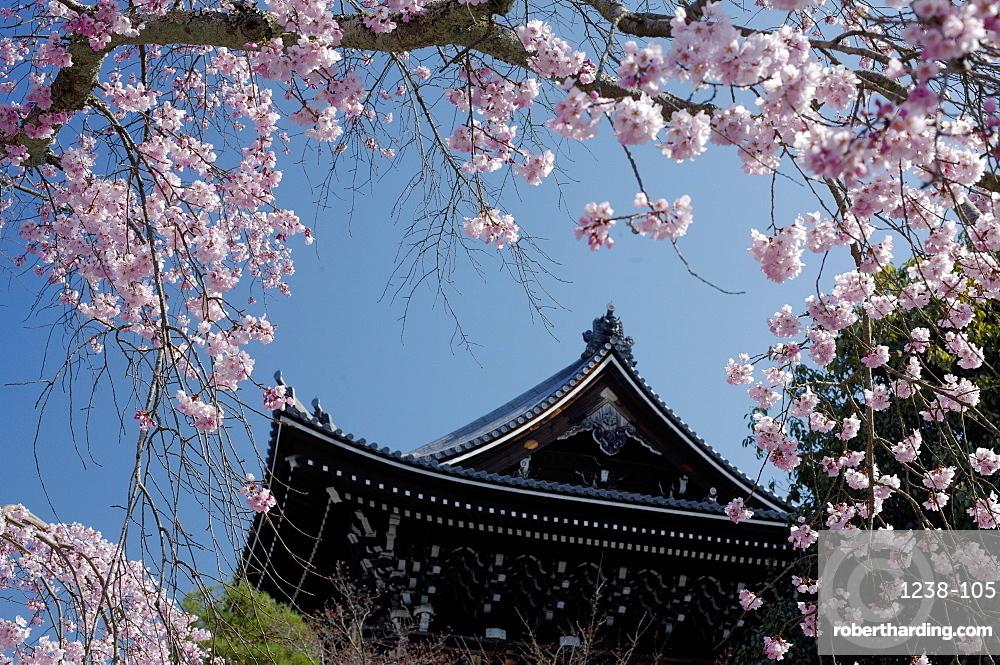 Cherry blossom in Yuzen-en gardens, Kyoto, Japan, Asia