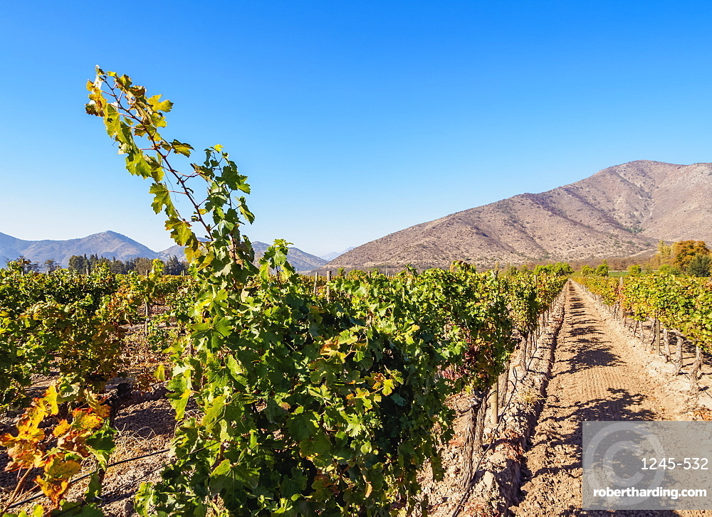 Santa Rita Vineyard, Alto Jahuel, Buin, Santiago Metropolitan Region, Chile, South America
