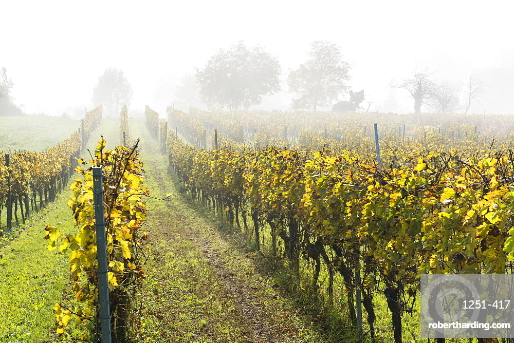 Vineyard in the mist, Uhldingen-Muhlhofen, Baden-Wurttemberg, Germany, Europe