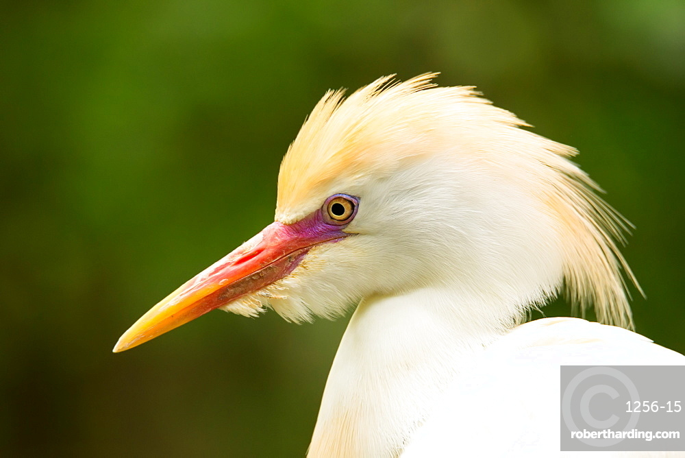 Portrait of Cattle Egret (Bubulcus ibis)