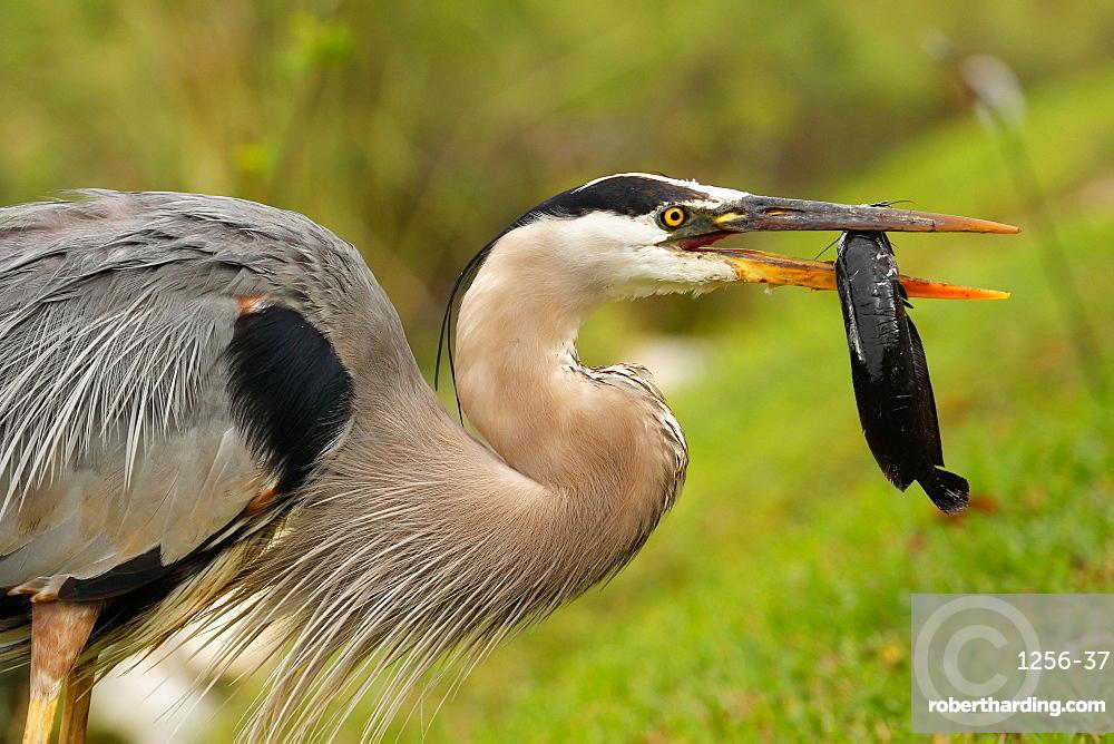 Portrait of Great blue heron (Ardea herodias) eating fish