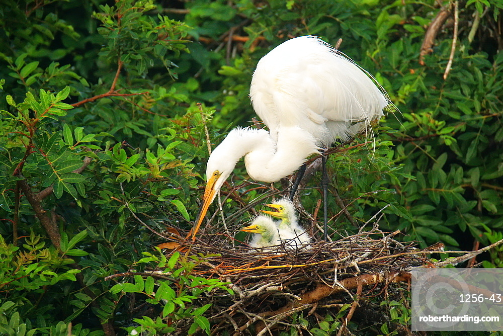 Great Egret (Ardea alba) in a nest with chicks, United States of America, North America