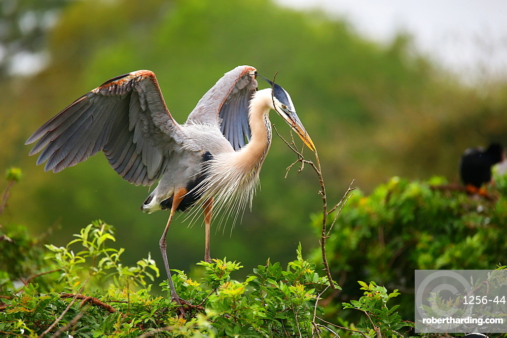 Great Blue Heron (Ardea herodias), the largest North American heron, with nesting material in its beak, United States of America, North America