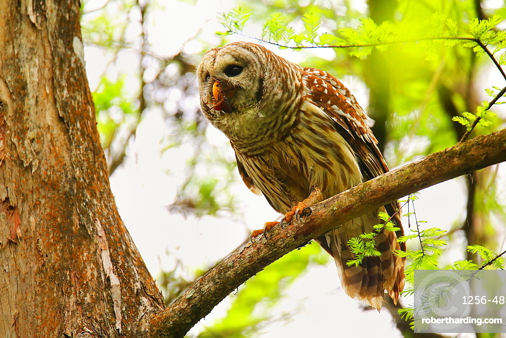 Barred Owl (Strix varia) sitting on a tree, United States of America, North America