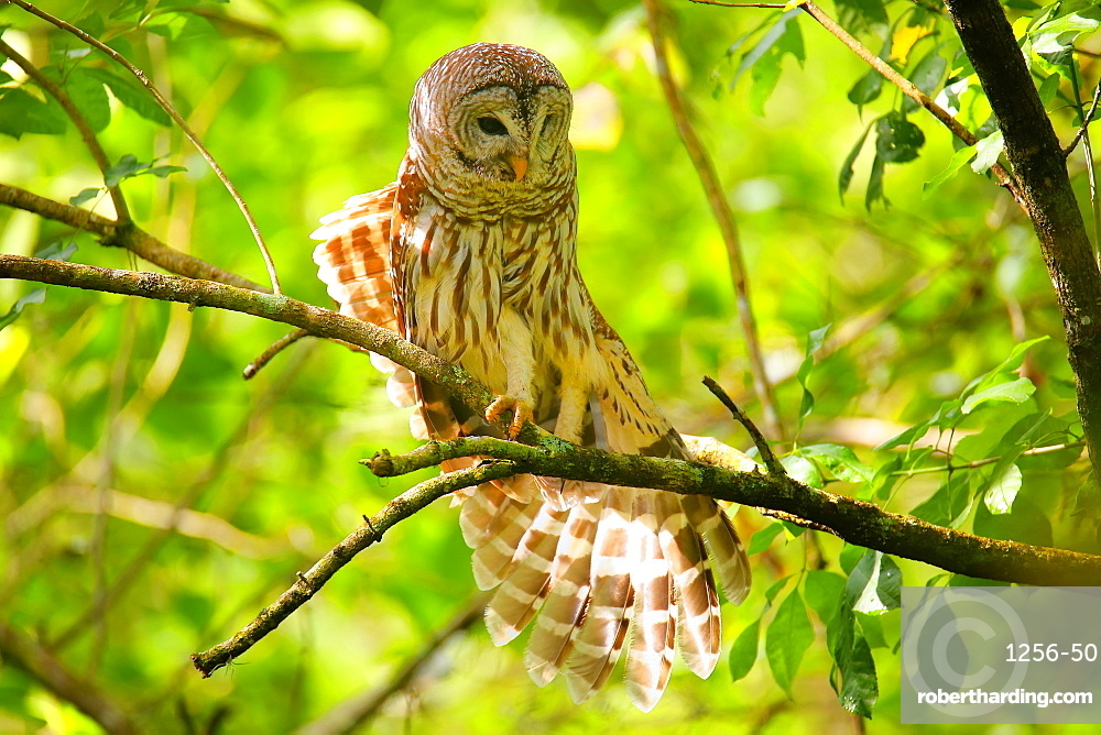 Barred Owl (Strix varia) stretching its wing, United States of America, North America