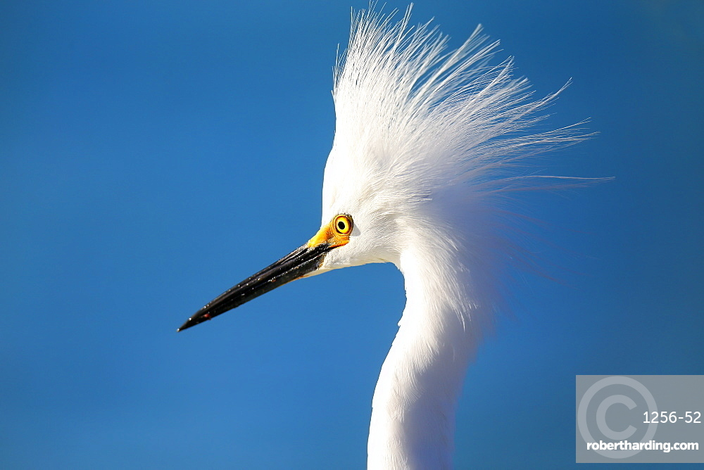 Portrait of a Snowy Egret (Egretta thula) against blue sky, United States of America, North America