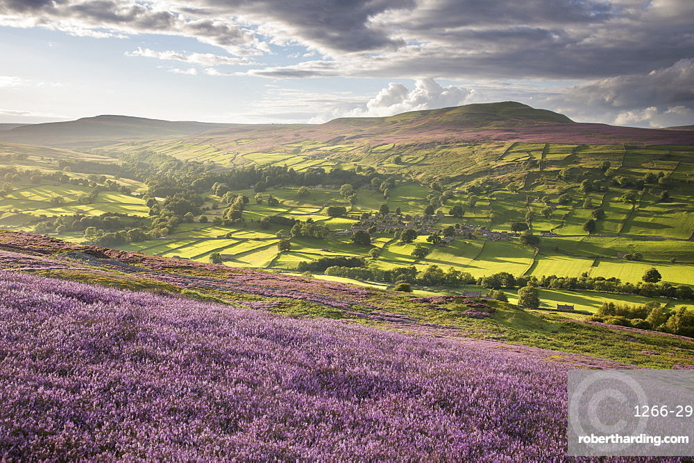 Helaugh Village and Calver Hill photographed from amongst the colourful heather on Grinton Moor, Swaledale, Yorkshire Dales, Yorkshire, England, United Kingdom, Europe
