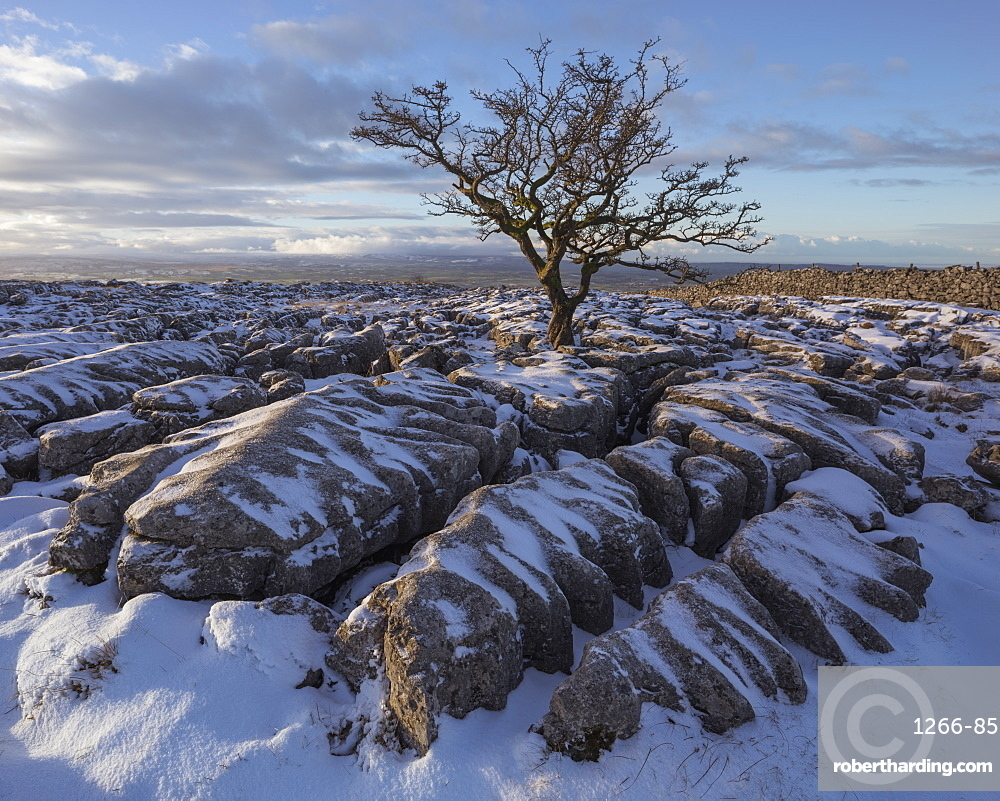 Hawthorn Tree and Limestone pavement in winter snow at sunrise Twisleton Scar, Ingleton, Yorkshire Dales, North Yorkshire, UK