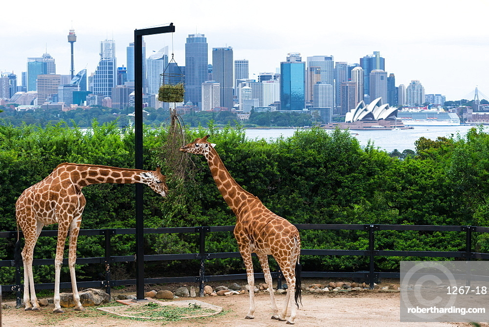Tarronga zoo's Giraffes with Sydney city skyline to the rear. New South Wales, Australia.