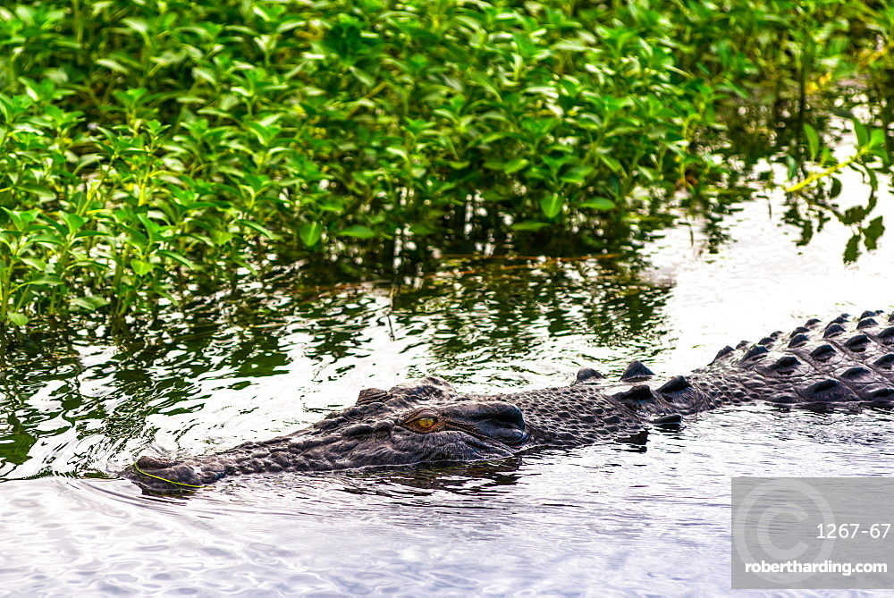Saltwater crocodile at Yellow Water Wetlands and Billabong, Kakadu National Park, UNESCO World Heritage Site, Northern Territory, Australia, Pacific