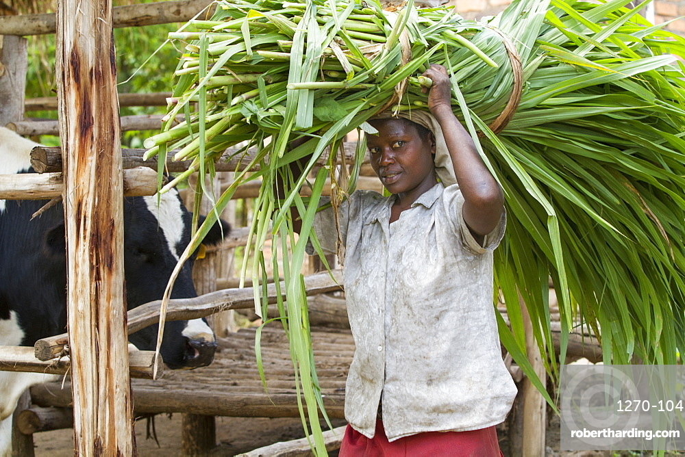 A female farmer carries long grass on her head to feed her cow, Uganda, Africa