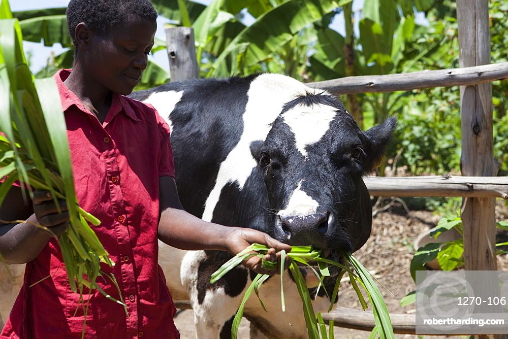 A woman feeds her cow long grass, Uganda, Africa